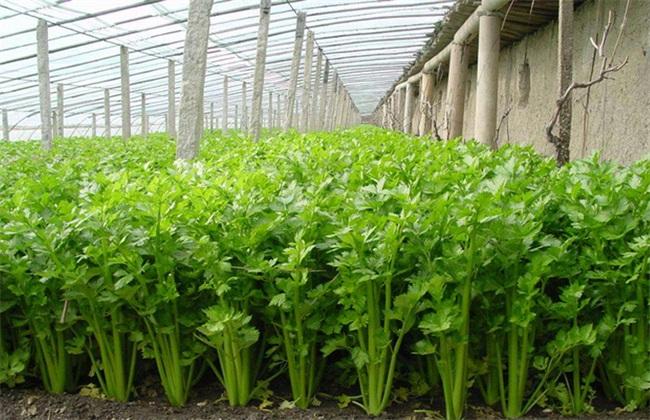 冬天种什么蔬菜 耐寒蔬菜