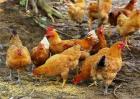 林下养鸡要准备什么工具