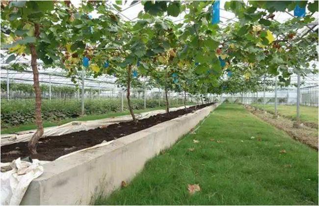 限根栽培方式 限根栽培技术