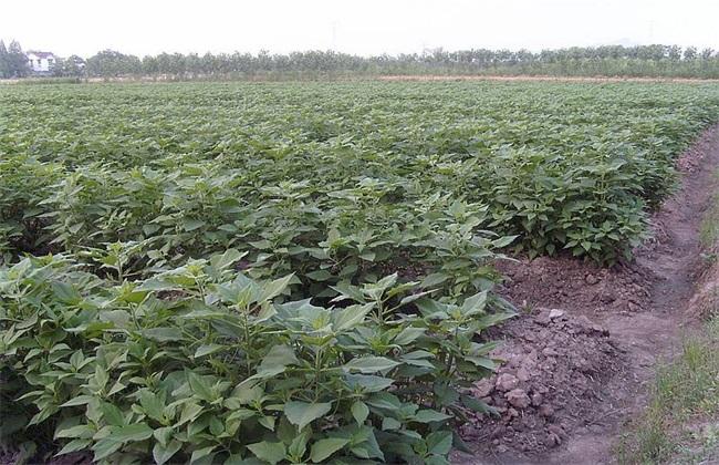 洋姜种植方法 洋姜种植