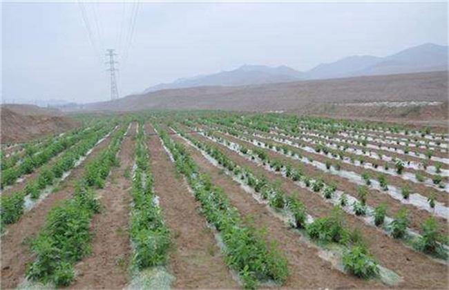 菊芋田间管理 菊芋种植管理