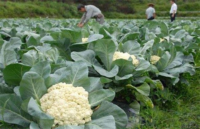 花椰菜种植该如何选种
