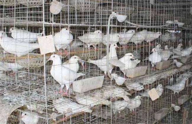 笼养鸽子注意事项