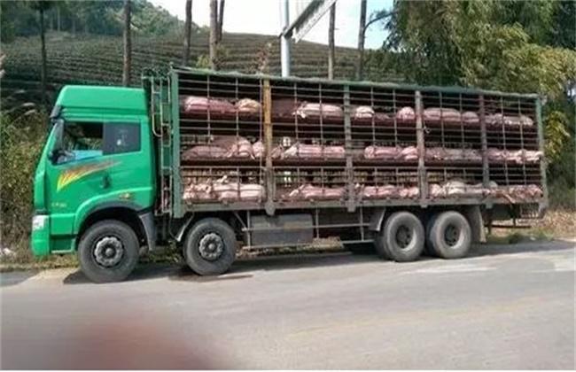 仔猪运输注意事项