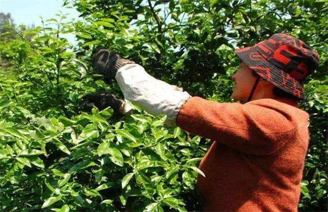 柑橘树修剪 注意事项