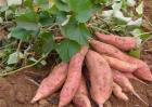 红薯施肥注意事项
