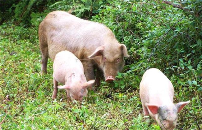 散养猪要注意什么