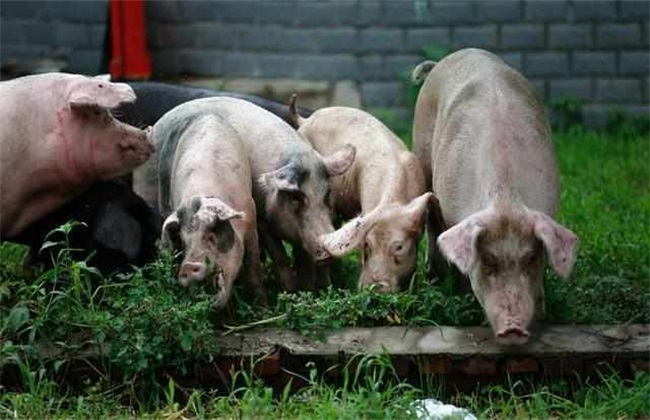 散养猪注意事项 散养猪