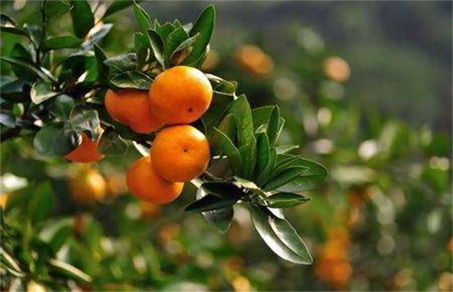 柑橘施肥时间和用量