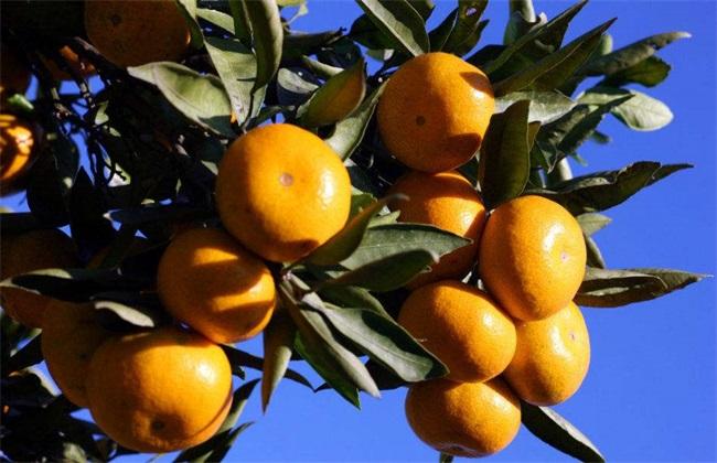 柑橘施肥时间 柑橘施肥用量