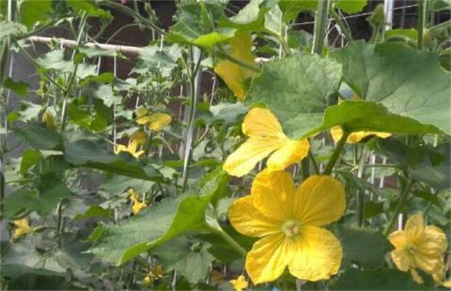 南瓜开花期怎么提高产量