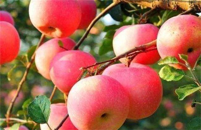 苹果个头小的原因