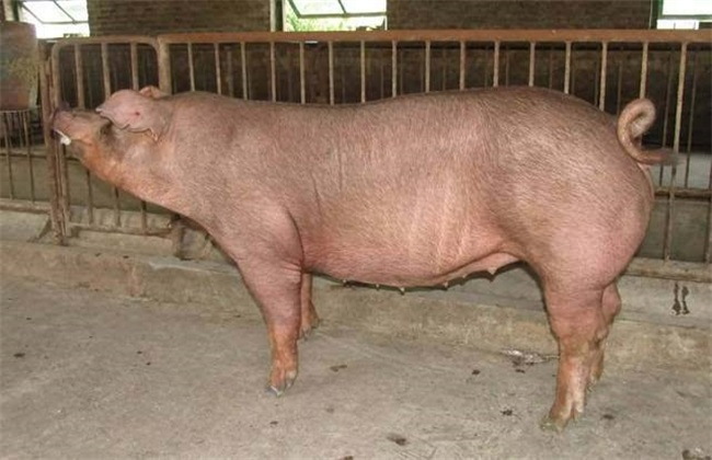 冬季怀孕母猪饲养管理
