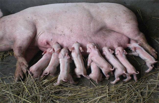 冬季怀孕母猪 饲养管理