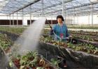 大棚草莓死苗原因及解决方法