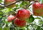 干旱时果树如何管理