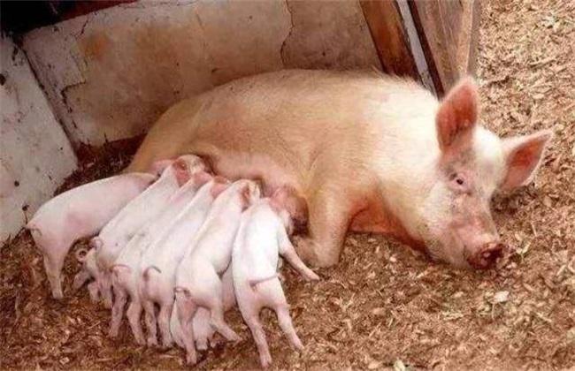 哺乳母猪采食量低怎么办