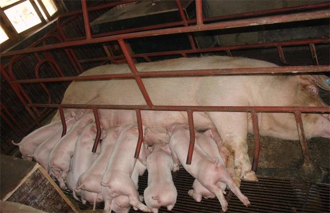 哺乳母猪采食量低 怎么办