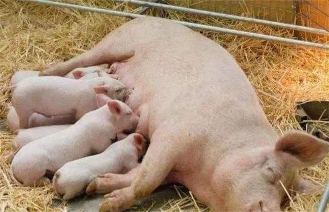 哺乳母猪进食少 哺乳母猪进食