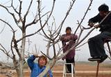 苹果树疏枝时间及方法