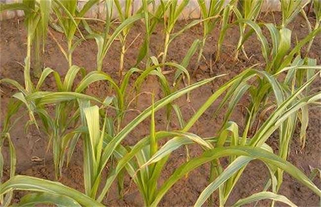 农作物肥害怎么办 农作物肥害