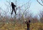 苹果的冬剪技术