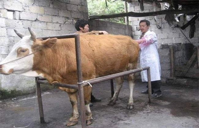 母牛配种方式 母牛配种时间