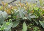 桂花的繁殖方法