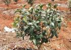 果树栽植如何提高成活率