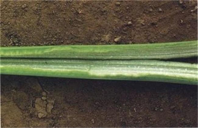 秋冬温室芹菜空心是什么原因