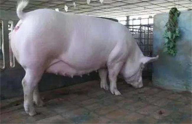 母猪假妊娠原因及防治措施