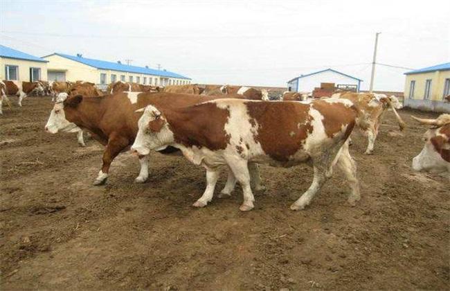 母牛发情表现 鉴别方法