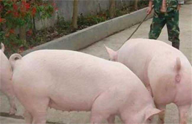 母猪返情原因及处理方法