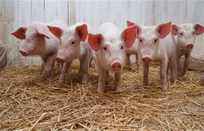 仔猪断奶后容易瘦是什么原因