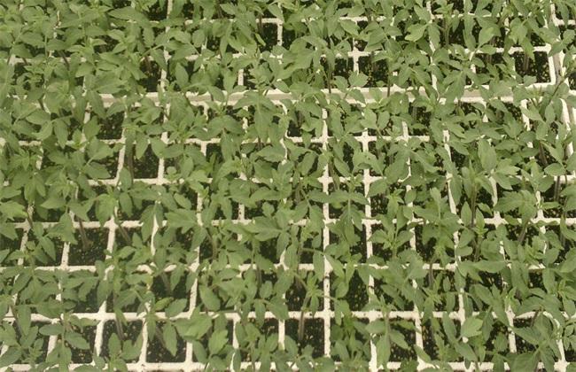 秋冬茬番茄 番茄栽培技术