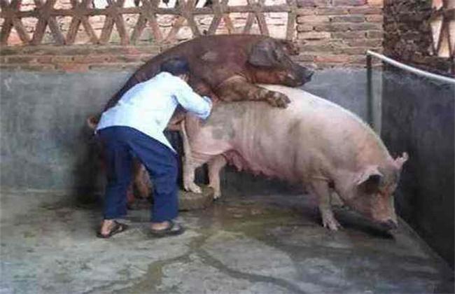 母猪夏季配种困难原因及解决方法