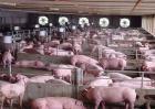 冬季养猪适合的温度