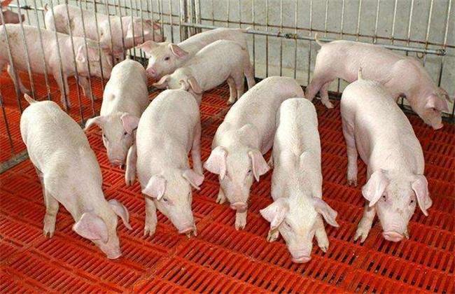 冬季仔猪越冬防寒保暖措施