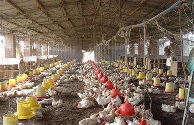 鸡舍该如何除臭