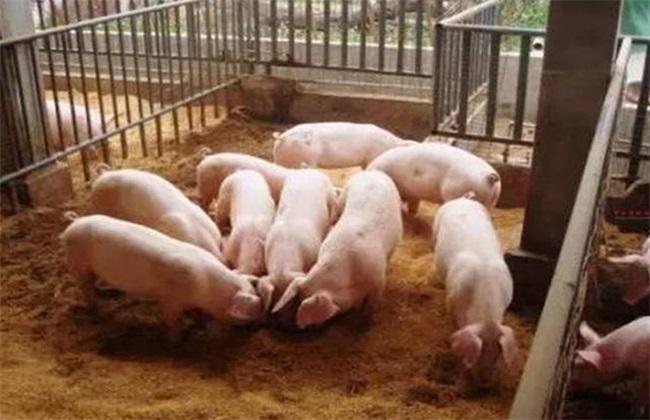 猪场饲料浪费行为 饲料浪费