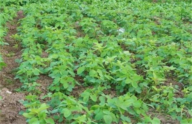 大豆豆荚无豆粒 原因