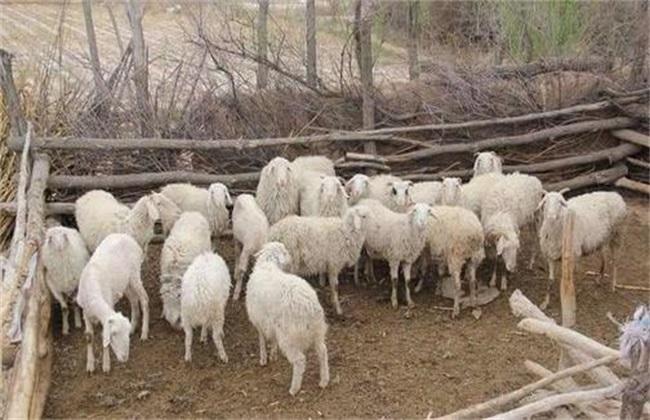 农村养羊技巧