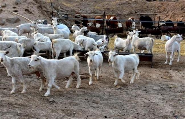 农村养羊技巧 养羊技术要点