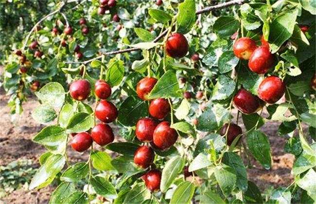 枣树落果是什么原因