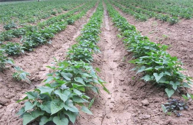 红薯苗生长环境 红薯苗环境