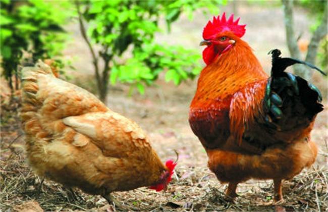 鸡副伤寒的预防措施