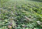 红薯苗的生长环境