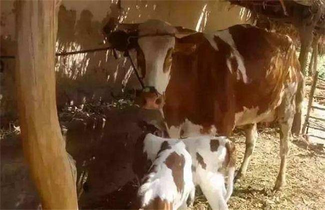 母牛产后护理注意事项