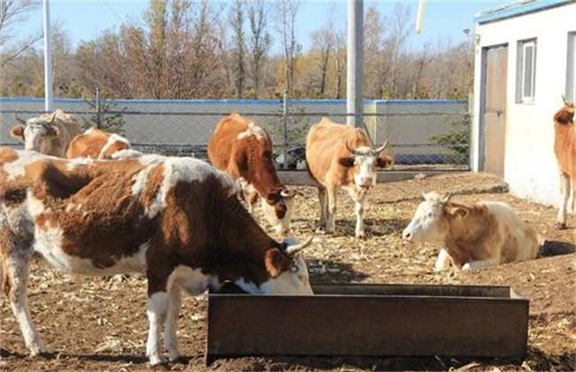 母牛产后护理 注意事项