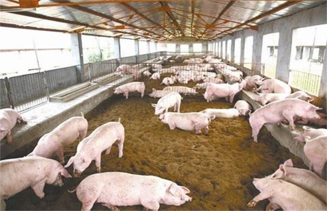 发酵床养猪的优缺点